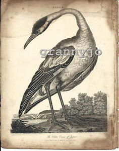 Original 1808 Copperplate Engraving of The White Crane of Japan by  Pass plate 2