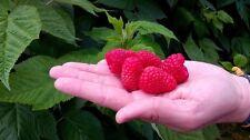 GIANT Red Raspberry''ADELITA''50-Finest Seeds*Sweet & Delicious Fruit*UK Seller