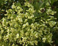Sophora Japonica. Japanese Pagoda Tree. 10 seeds