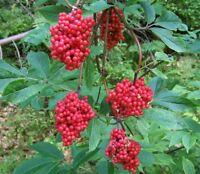 leuchtender ROTER HOLUNDER: wunderschöne farbenprächtige Zierpflanze im Garten