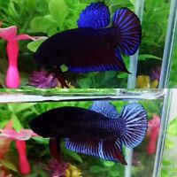 Blue Grey Betta Fighter Plakat Male-IMPORT LIVE BETTA FISH FROM THAILAND