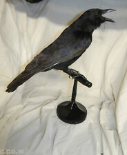 Taxidermy crow fixed to a pedistal - raven family