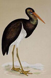 c1875 ANTIQUE PRINT ~ BLACK STORK HAND COLOURED British Birds Morris