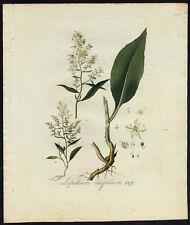 Antique Print-LEPIDIUM LATIFOLIUM-PEPPERWORT-Sepp-Flora Batava-1800