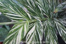 Hedychium Vanilla Ice - 1 plant - rare
