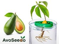 Avoseedo - Grow Your Own Avocado Tree