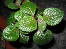 "Scarce Purple Swedish Ivy Plant 3.5"" Pot Purple Stems And Veins Air Cleaner"