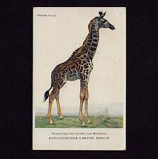 Zoologischer Garten Berlin GIRAFFE Zoo * Künstler-AK um1920 F SCHEBECK