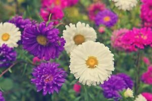 25 DWARF ASTER CHINA PINOCCHIO MIX SEEDS - MIXED COLOURS - 25 SEEDS