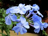 Plumbago   Cape Leadplant   Plumbago auriculata   10 Seeds   (Free Shipping)