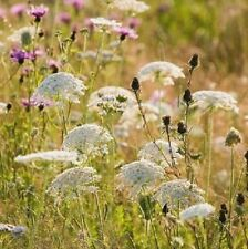 Wildflower Seeds - Wild Carrot - 1000 Seeds