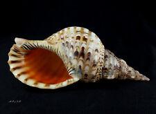 Charonia tritonis, Ranellidae 330mm