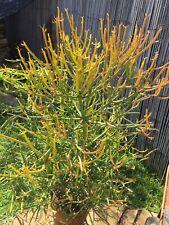 Four 5�-7� Firestick Succulent Cuttings Euphorbia Tirucalli Pencil Cactus Plant