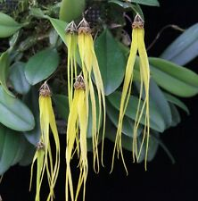 MOS. Orchid Species Bulbophyllum thyrum (seedling, rare)