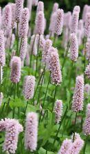 Persicaria bistorta (Adderwort,Bistort, Snakeweed)-Marginal Pond/perennial Plant