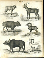 Antique print Mammals engraving - 1842 - Water Buffalo, Bison, Goats, Sheep