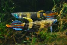 Pair of Pseudepiplatys annulatus 'Kindia' (Miniature Killifish)