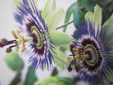 Passiflora caerulea - Passionsblume -  Winterharte Pflanze 80-100cm - Früchte