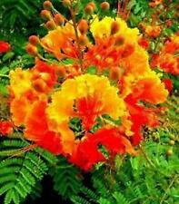 10 Red Mexican Bird of Paradise * 10 Seeds Perennial. Caesalpinia Pulcherrima
