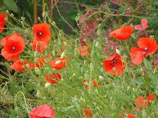 500 Graines de fleurs Annuelles, COQUELICOT, Papaver Rhoeas