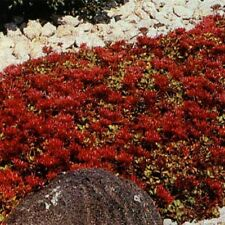 Sedum Dragon Blood 100 seeds Beautiful Clusters of Dark Red Flowers