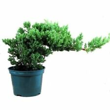 Bonsai Tree Japanese Juniper Pre  Bonsai