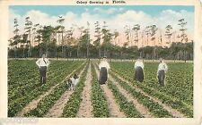 c1920 Celery Growing in Florida - Farmers/Collie Dog - Postcard