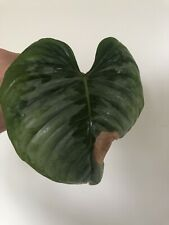 Philodendron Sodiroi Large Rare Aroid Cutting