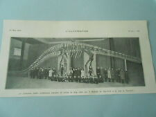 The diplodocus fossil holster measuring 20 metres long 1907 image print
