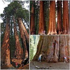 10 semi di Sequoiadendron Giganteum,Sequoia gigante, seeds