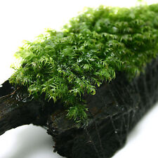 "Fissidens fontanus PAD 4x4cm  1.5""x1.5""- Live aquarium plant moss water plants"