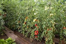 Sostegno tutore a spirale modello PROFESSIONALE pomodori, piante rampicanti ....