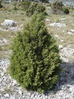 25 Semillas de Juniperus cedrus