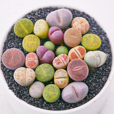 10Pcs Lithops Seeds Flower Cactus Livingstones Succulent Bonsai Plant Home Decor