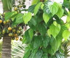 PIPER BETEL SPICE PAAN VINE Rare HINDI Edible Chewing Herb House PLANT Organic