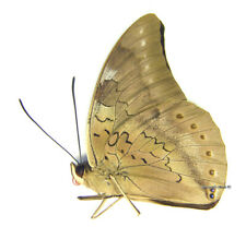 Unmounted Butterfly/Nymphalidae - Archaeoprepona phaedra aelia, male, Mexico