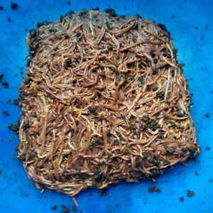Red Wiggler Composting Worms - 1 pound