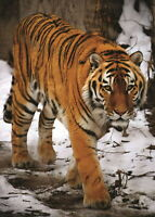 140046 TIGER IN SNOW Wall Print Poster Plakat
