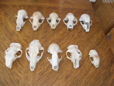10 Real Animal Skulls Crafts Taxidermy Display Science