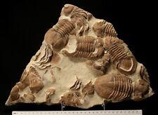 RARE trilobite assemblage Xen asaphus devexus ordovician fossil from Trilbone