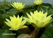 Large Yellow Hardy Water Lily lovely brilliant blooms Koi Pond J & J Aquafarms
