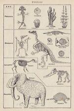 C2827 Fossili - Stampa d'epoca - 1936 vintage print