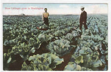 How Cabbages Grow in Washington Farming 1909 postcard