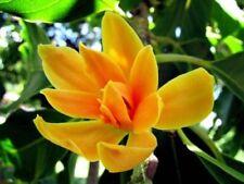 5 Orange Magnolia Seeds Lily Flower Tree Fragrant Tulip Flowers 347 Us Seller