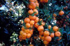 PLANTA DE NARANJO MORUNO( Citrus Myrtifolia) CHINOTTO