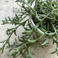 Senecio Peregrinus Dolphin Necklace String Of Dolphin X1 Unrooted Plant