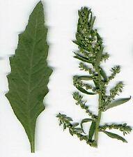 300 EPAZOTE Chenopodium Ambrosoides Herb Flower Seeds
