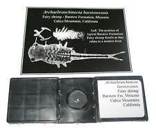 Miocene Silicified Fairy Shrimp arthropod fossil Rare in fossil record slide