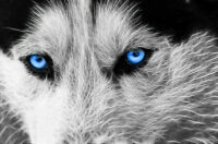 "Wolf Abstract Art Blue Eyes CANVAS PRINT 24""X 36"" dog poster"