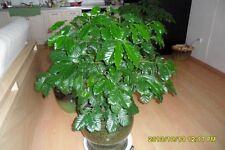5 seeds Coffee Plant Seeds / house plant/ .